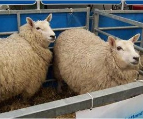 Sheepgoatanimalfarmingandtraining   sheep goat animal farming and